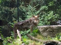 http://timberwolfinformation.org/kidsonly/kidsinfo.htm